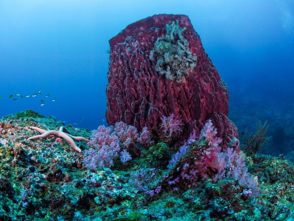 giant barrel sponge facts
