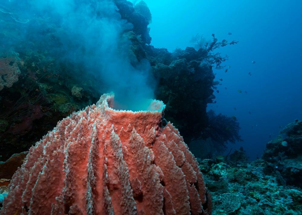 male barrel sponge spawning