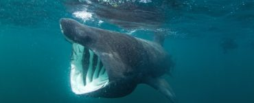 do basking sharks have teeth