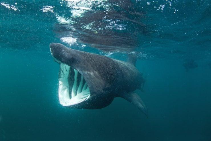 do basking sharks have teeth