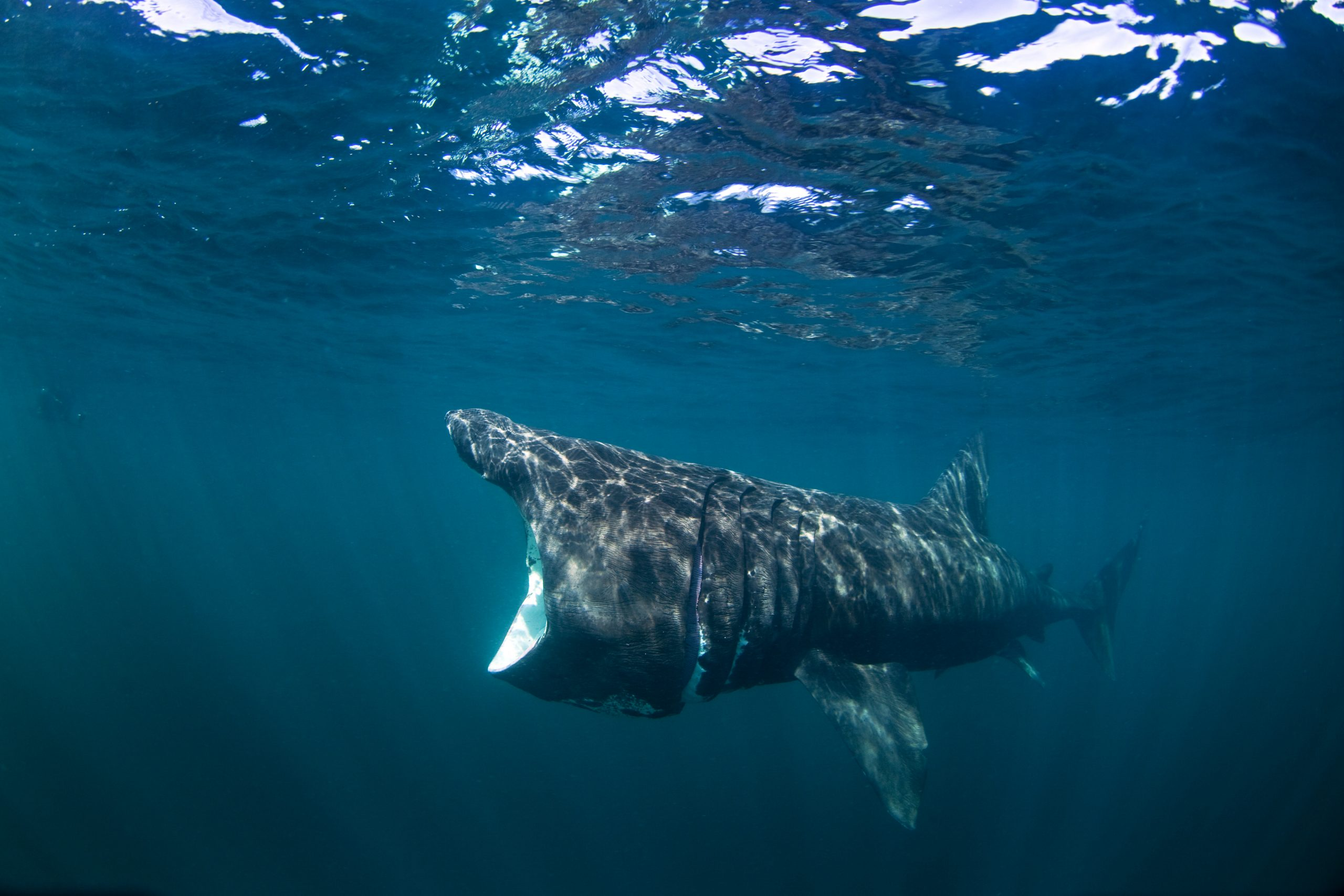 basking shark with open mouth