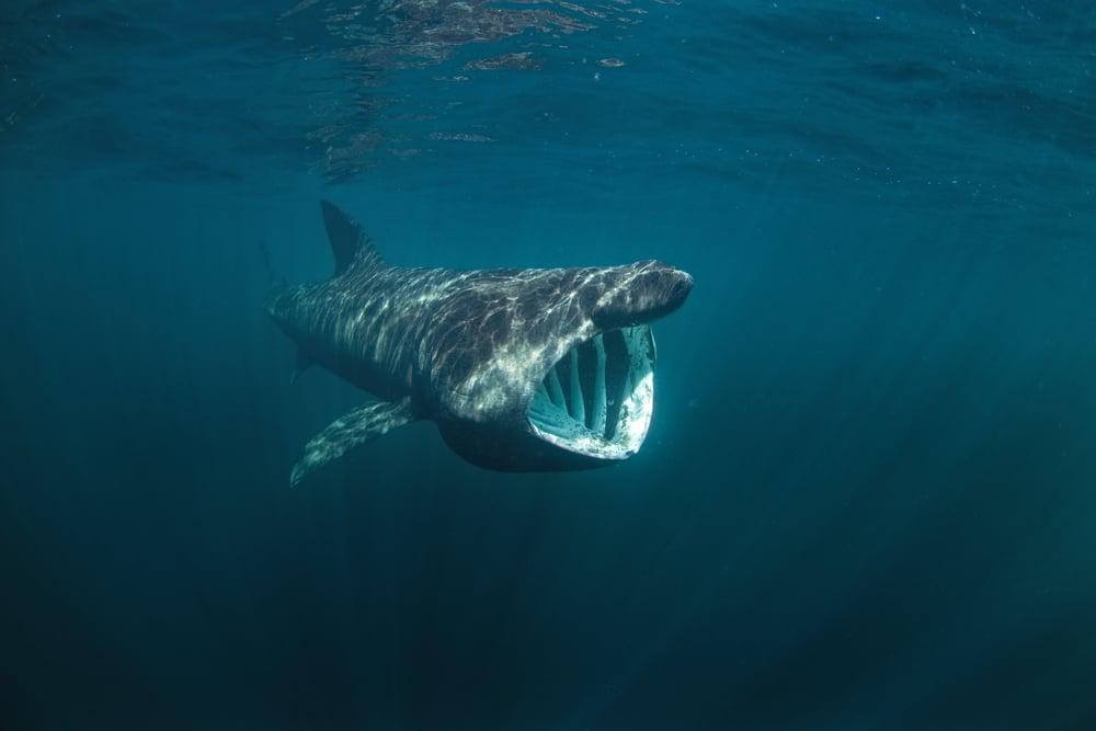 do basking sharks pose a threat?