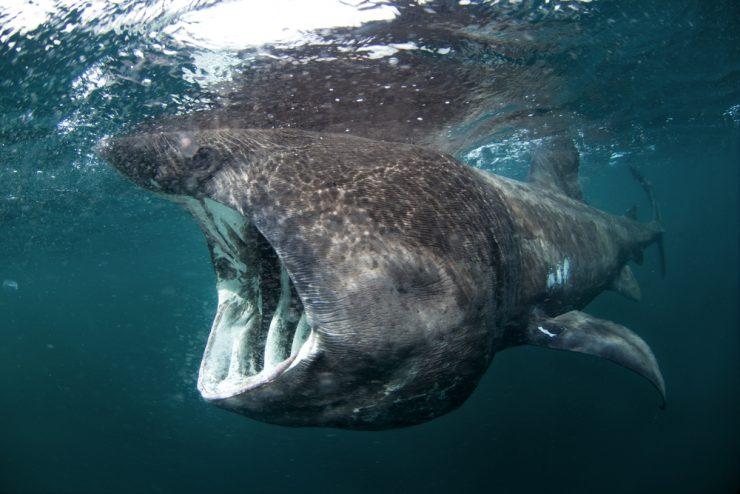 are basking sharks dangerous?