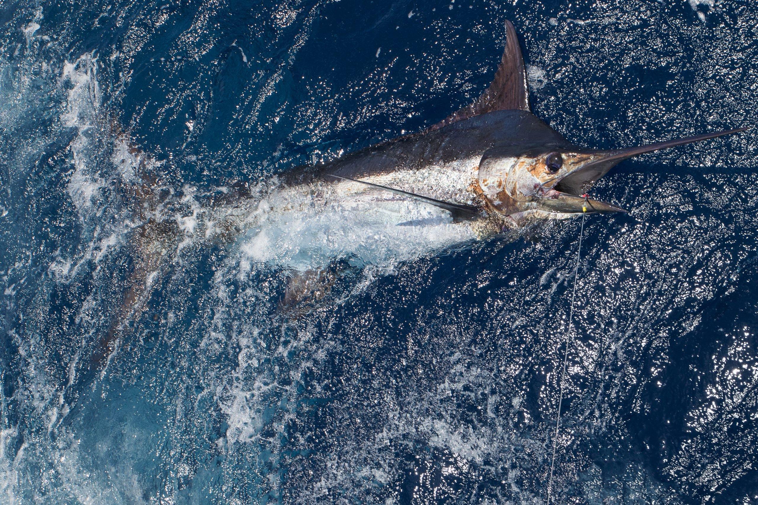 blue marlin fishing