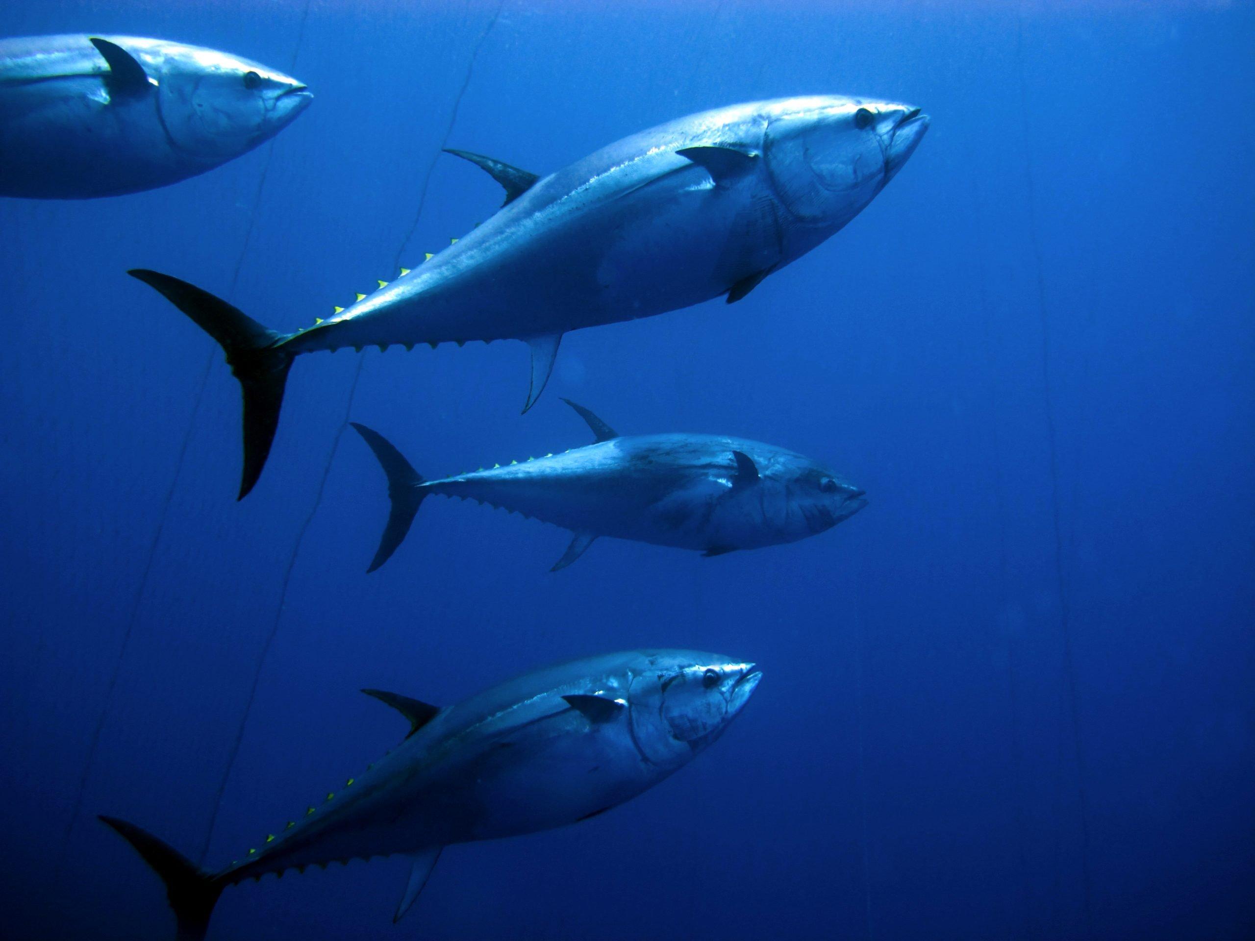 atlantic bluefin tuna physical traits