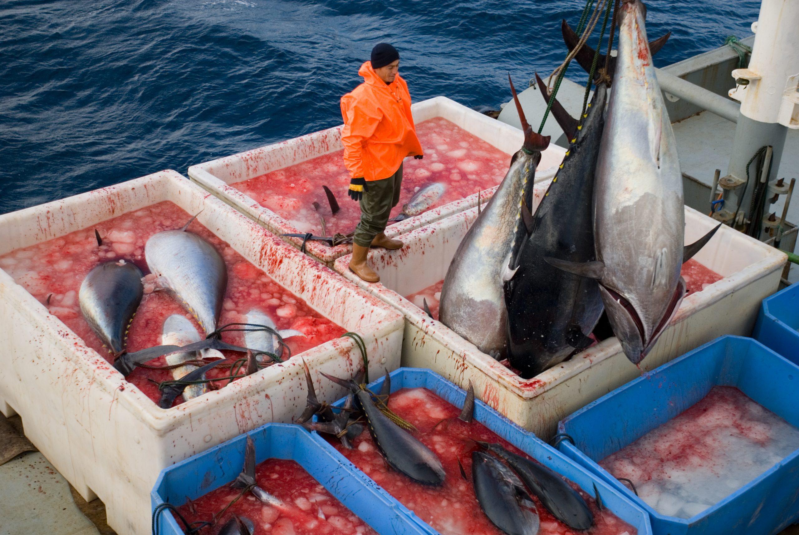 overfishing of bluefin tuna