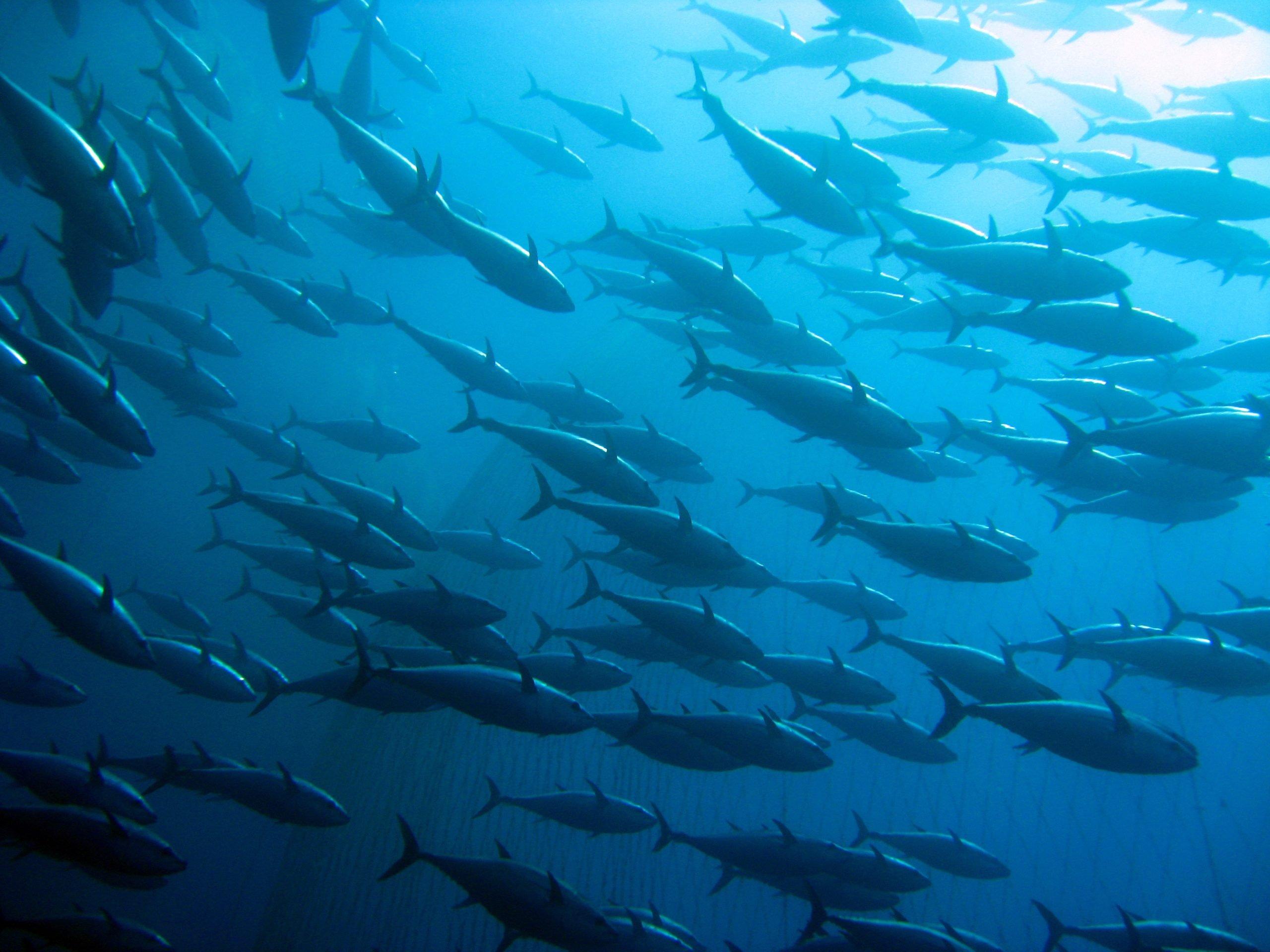 bluefin tuna school swimming in atlantic ocean