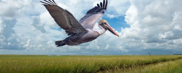 brown pelican flying over marsh lands