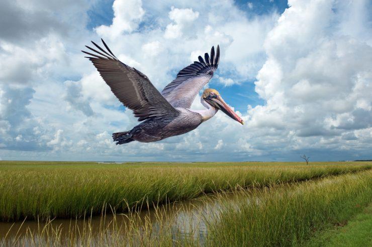 brown pelican flying over marsh lands
