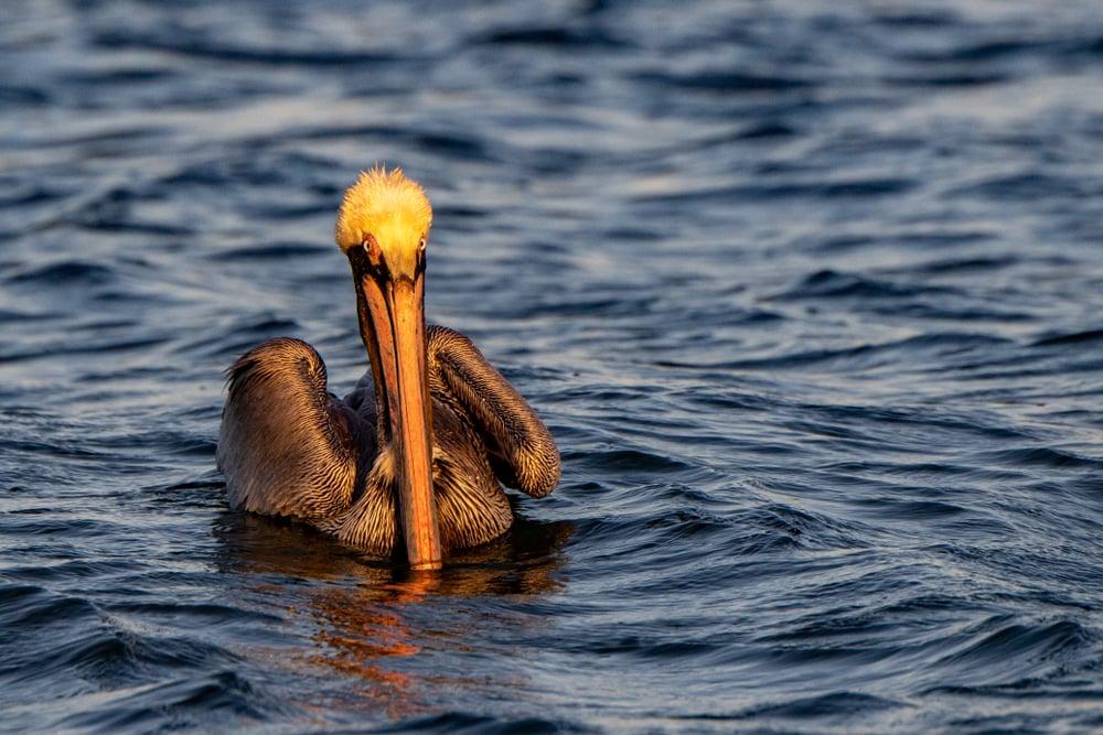 brown pelican floating in ocean