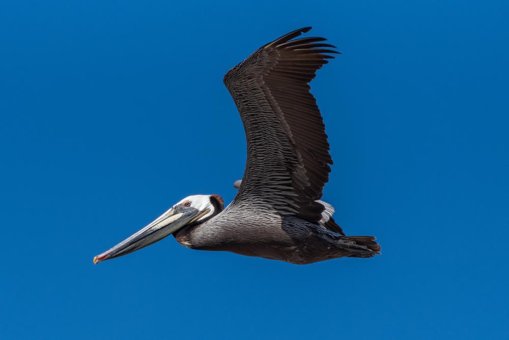 brown pelican endangered