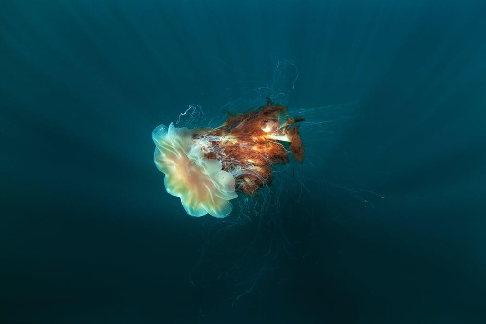 Cyanea capillata swimming in the ocean