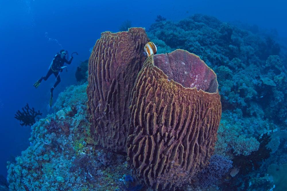 diver with pair of barrel sponges