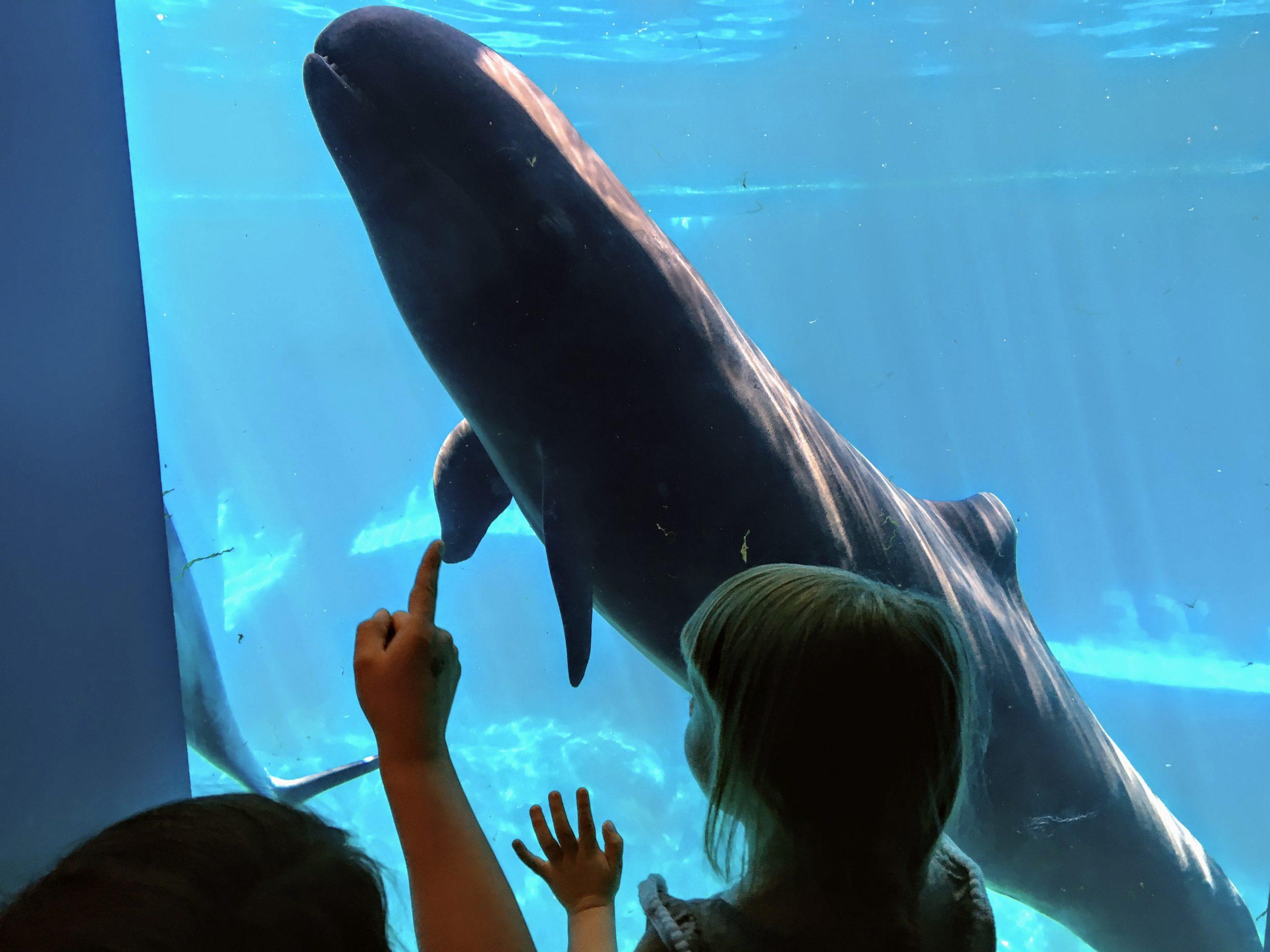 false killer whale in aquarium