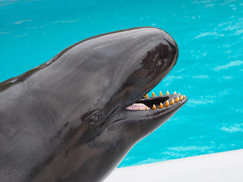 false killer whales endangered?