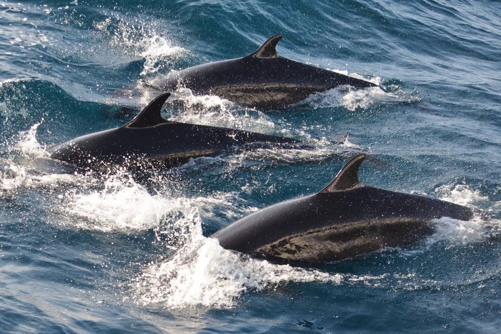false killer whale swims
