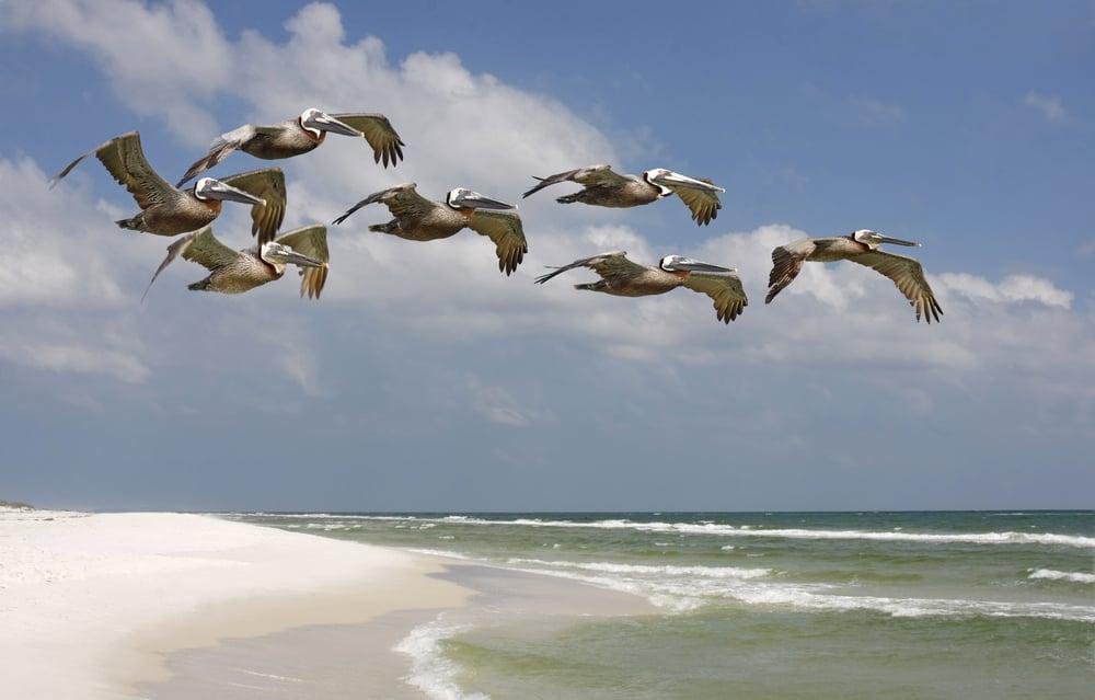 pelican flock over beach in north america