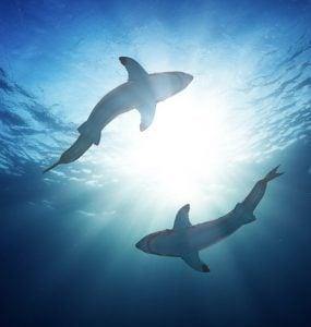 sharks circling in sun