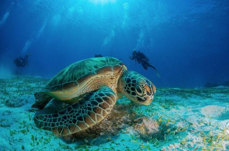 hawksbill sea turtle conservation