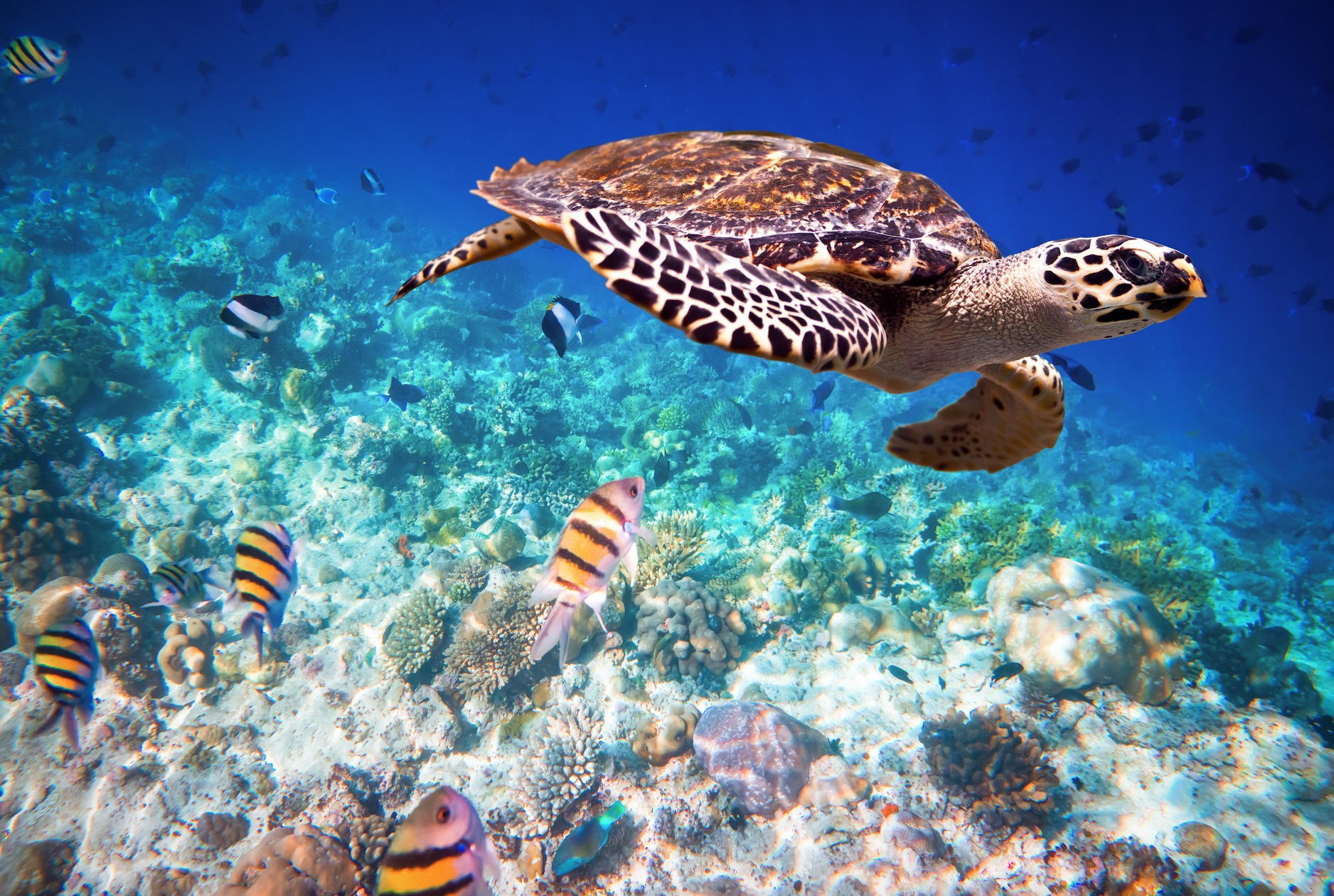 what is being done to protect hawksbill