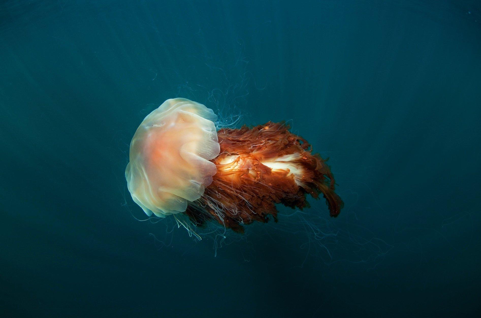 lion's mane jellyfish swimming