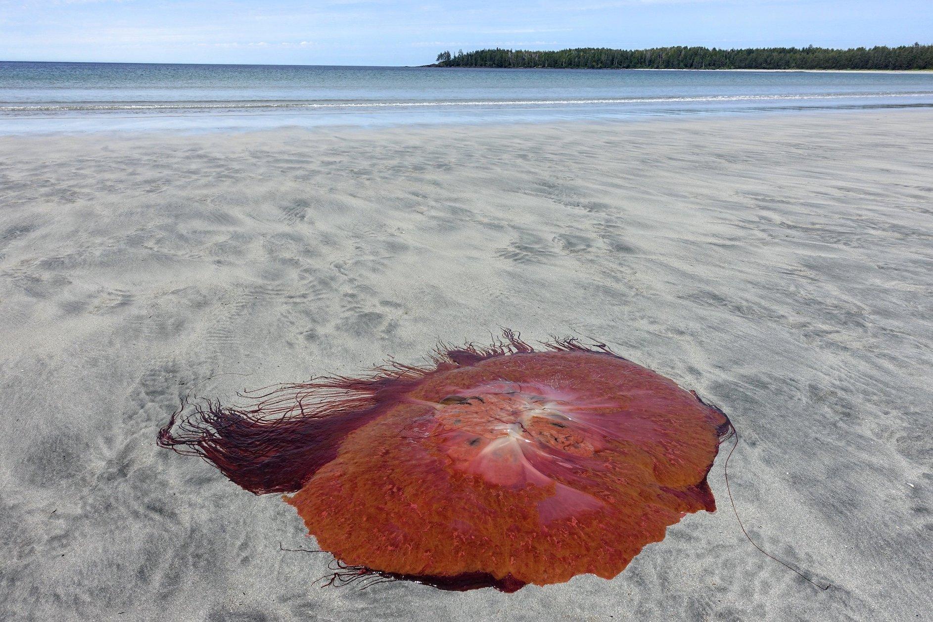 lion's mane jellyfish on beach