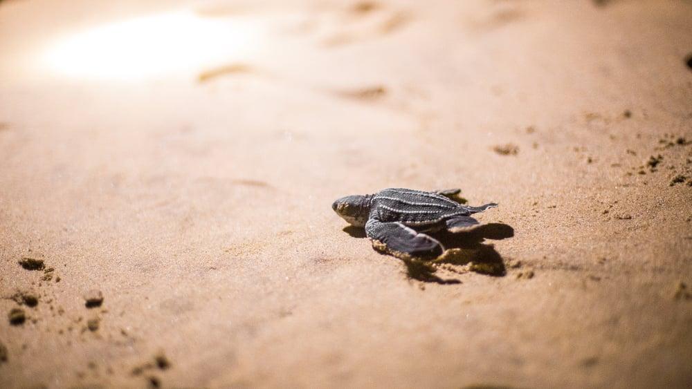 baby leatherback sea turtle on the beach