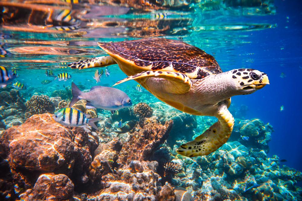 hawksbill turtle in ocean