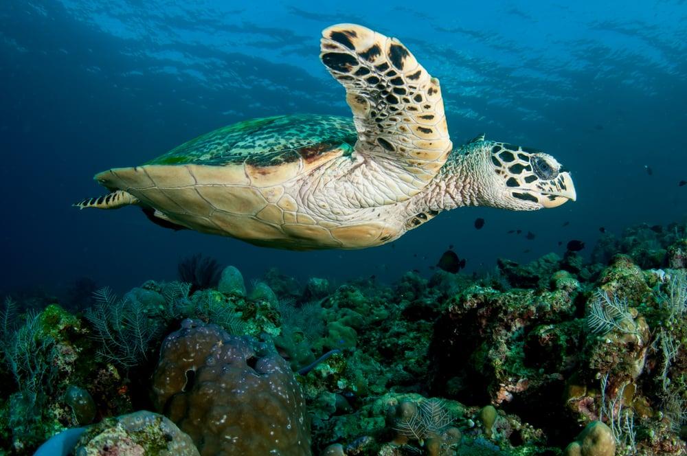 how many hawksbill turtles left