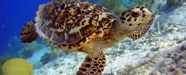 how many hawksbill turtles are left