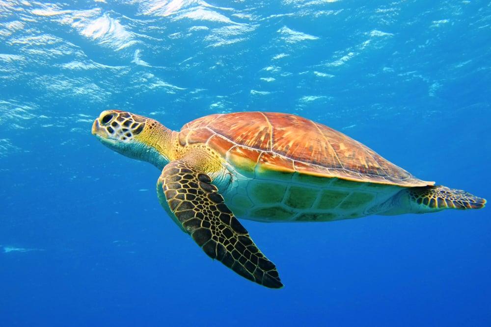 hawksbill turtle diving