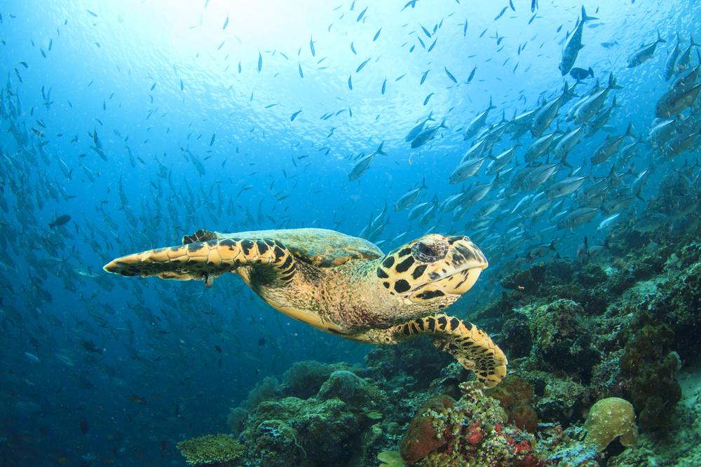 hawksbill turtle fishery