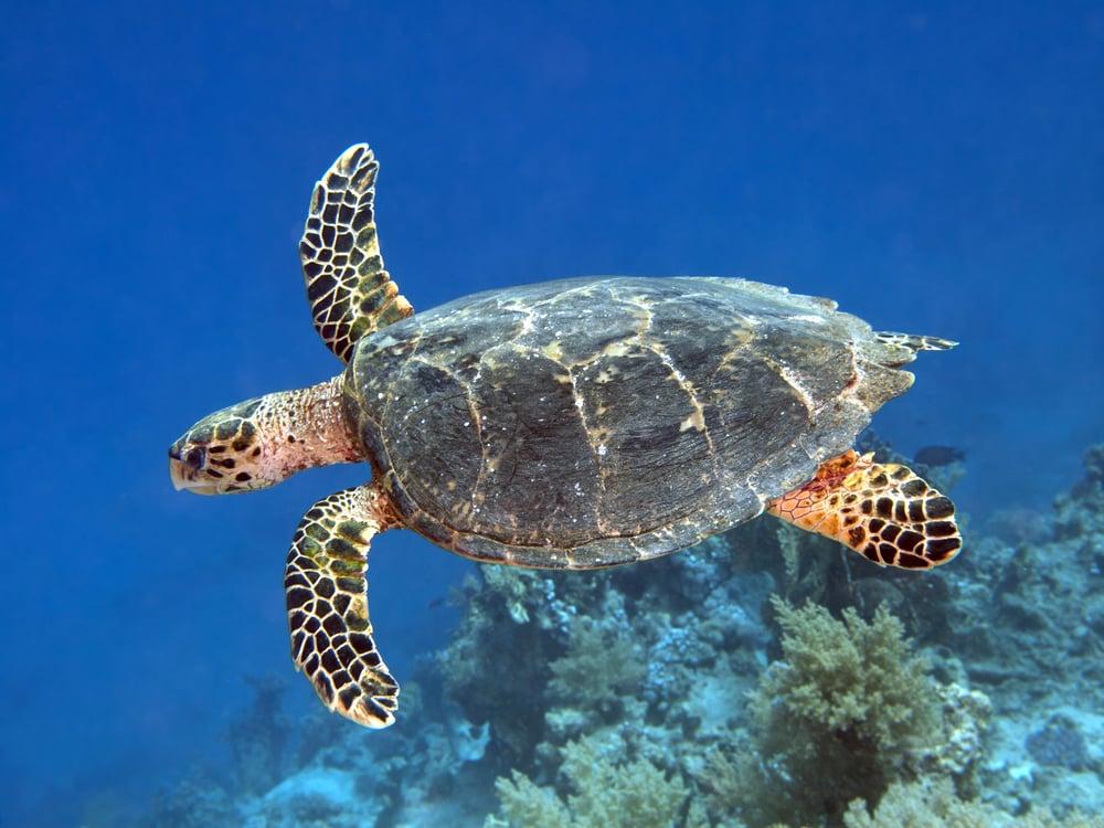 hawksbill sea turtles endangered