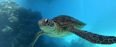 hawksbill turtle critical status