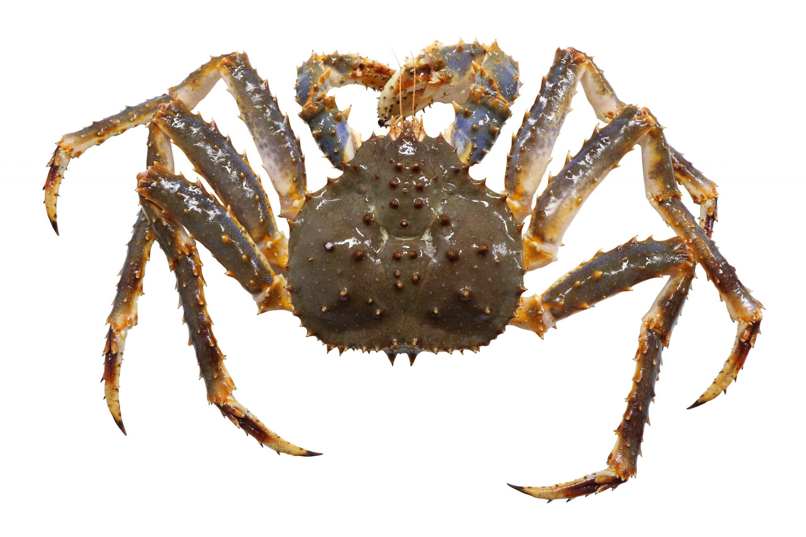 king crab physical characteristics