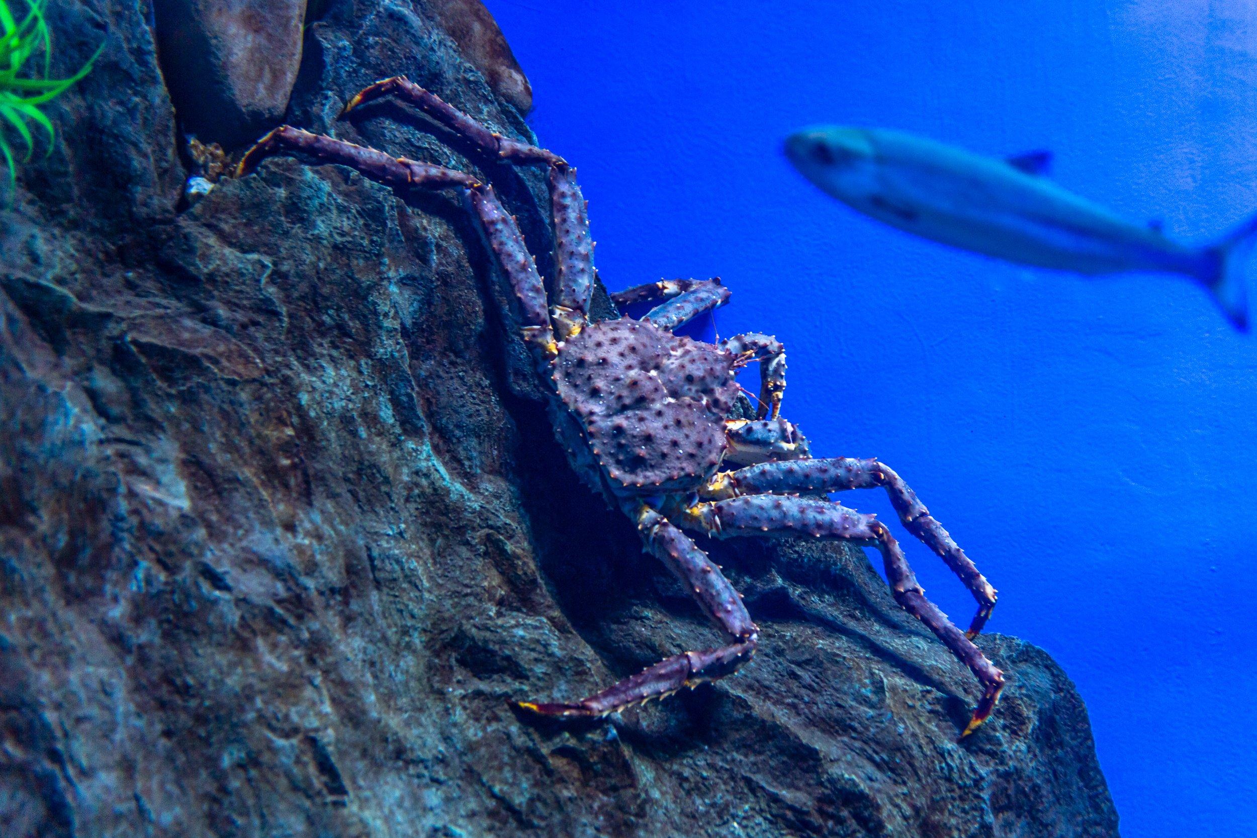 king crab in the ocean
