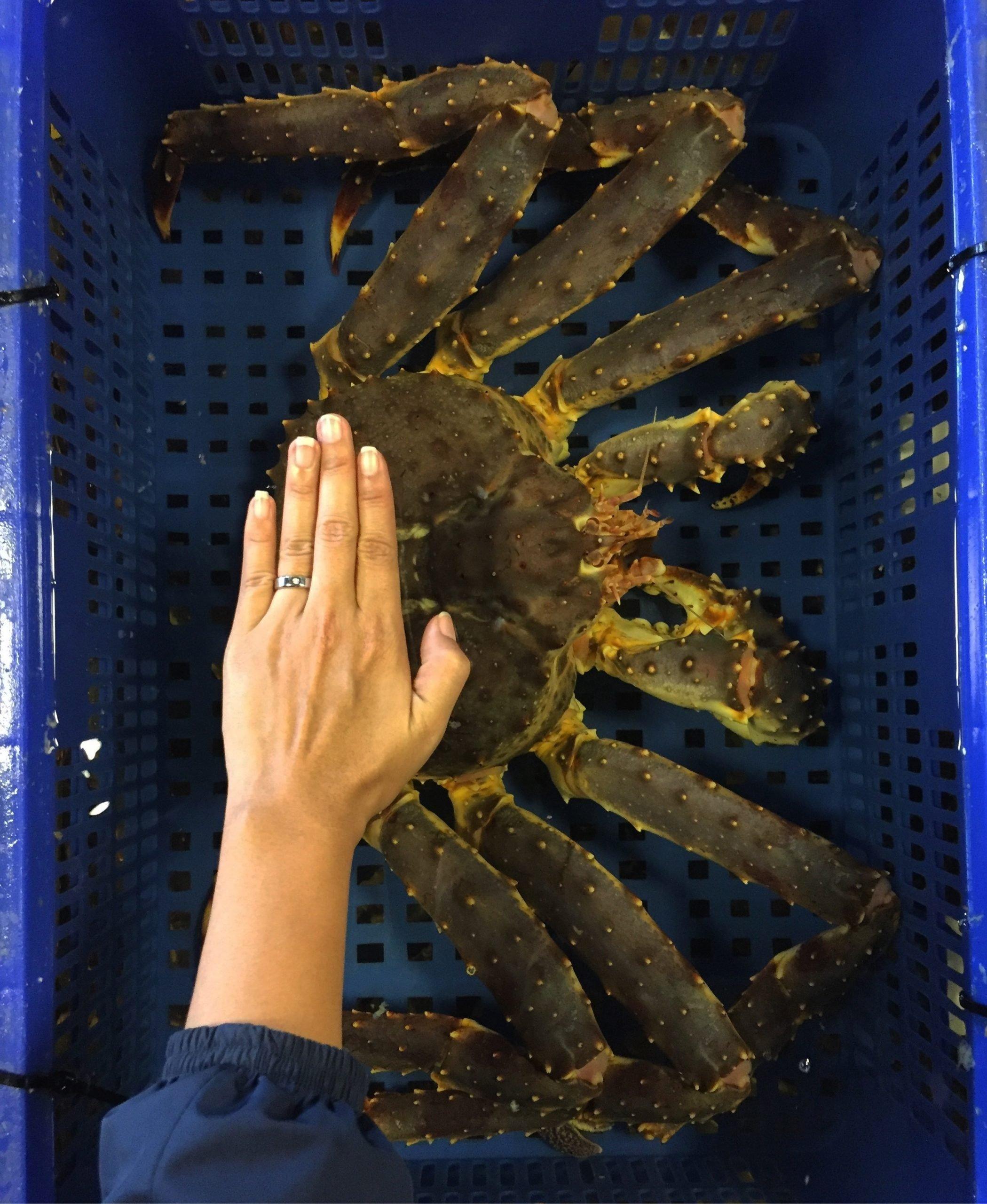 king crab size