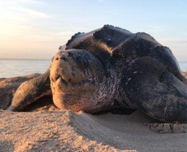 large leatherback turtle on the beach