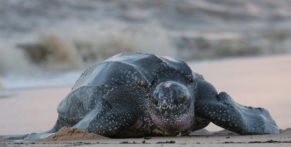 endangered leatherback