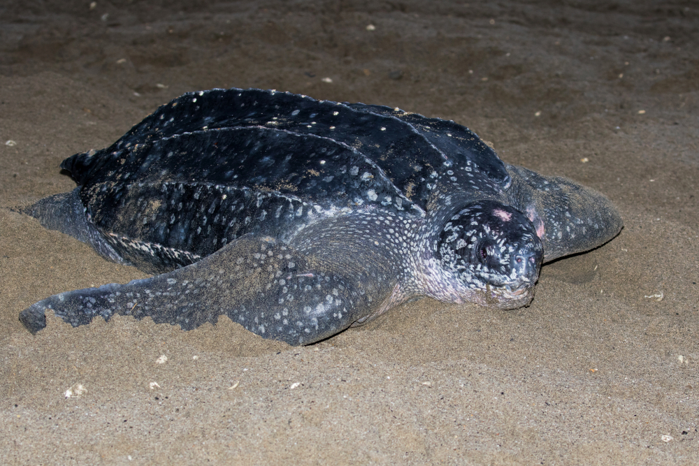 leatherback sea turtle at night on beach
