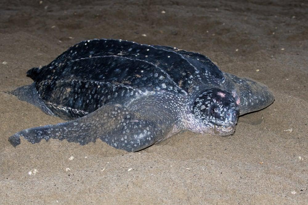 are leatherback sea turtles endangered?