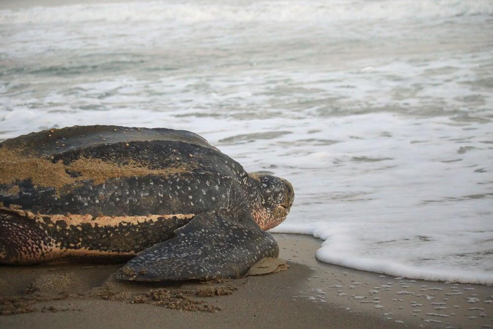 leatherback entering the ocean