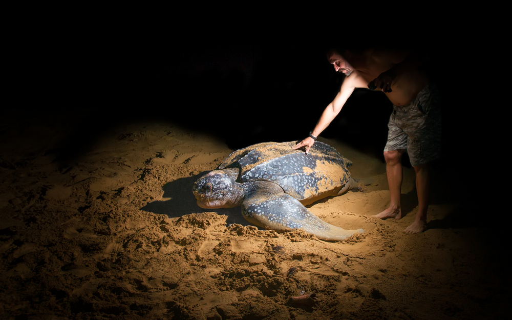 man next to a large leatherback sea turtle