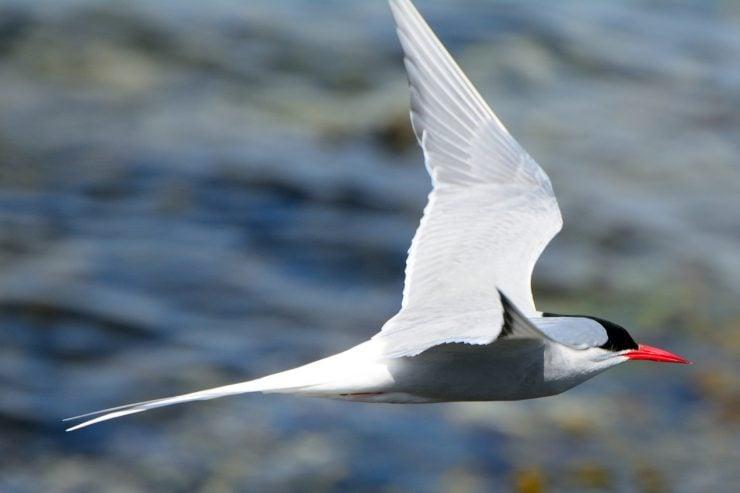 migrating distance of arctic tern