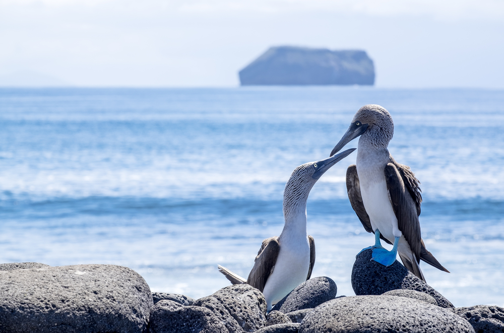 pair of blue-footed booby