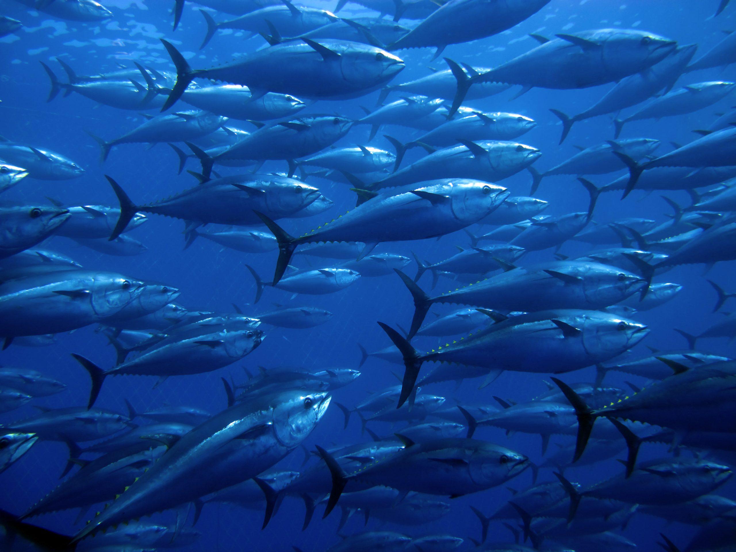 atlantic bluefin tuna thunnus