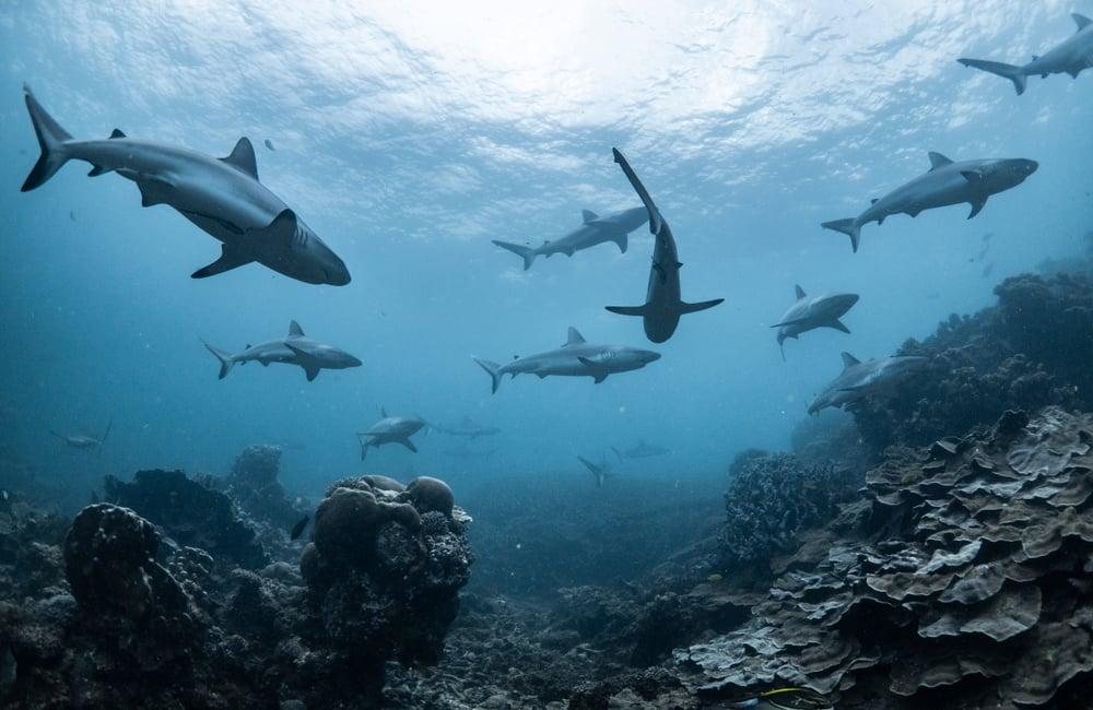 how many sharks killed per year