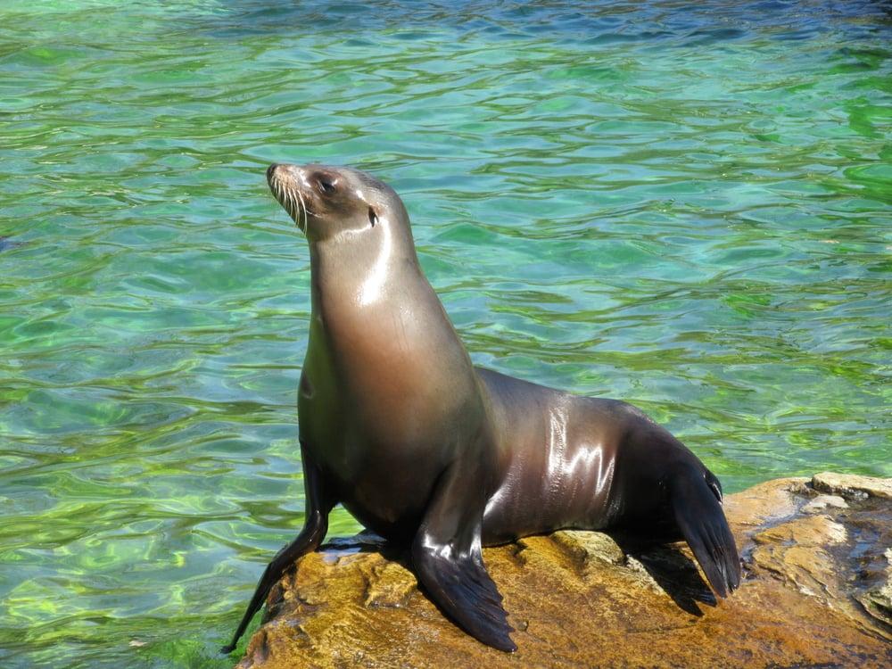 sea lion in la jolla cove