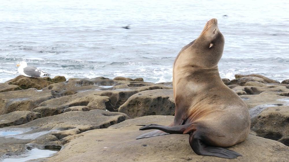 sea lion sunbathing on california coast
