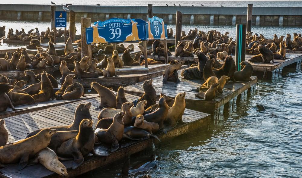 sea lions on pier 39 in san francisco